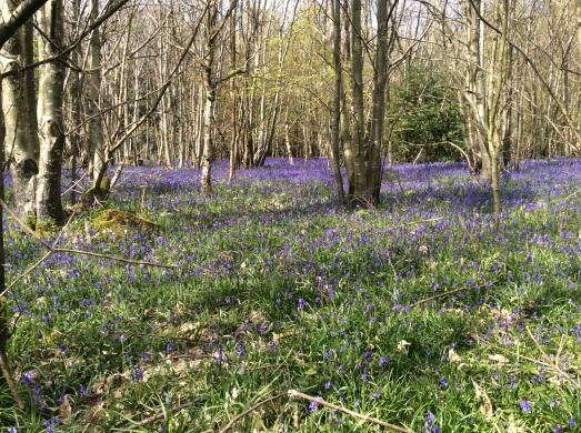 Bluebell woods on a run